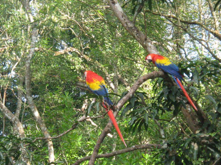 Práth Károly Közép amerikai utazás Honduras Copan papagájok