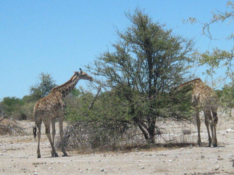 Práth Károly külföldi utazás Namíbiába Etosha Nemzeti Part zsiráfcsalád