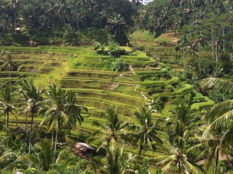 Külföldi utazás Indonézia Bali rizsföldek